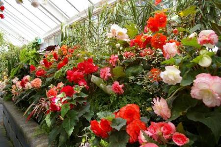 A colorful scene in the Rose Garden's greenhouse.