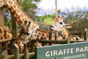 Not a safari, but Taronga Zoo in Sydney has excellent giraffes with big tongues.